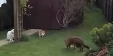Katzen verjagen Rotfuchs aus Revier