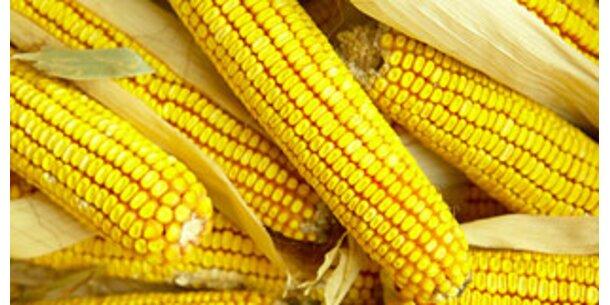 Gentechnisch veränderter Mais macht unfruchtbar