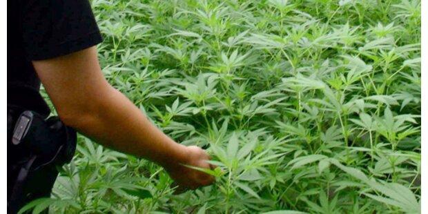 Haschisch-Plantage von Polizei ausgehoben