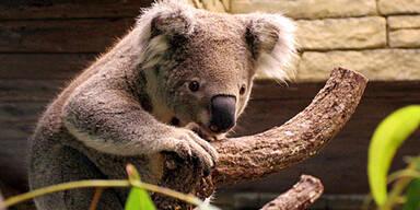 061219_koala_afp