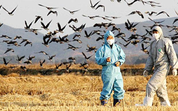 vogelgrippe keine bertragung von mensch zu mensch. Black Bedroom Furniture Sets. Home Design Ideas