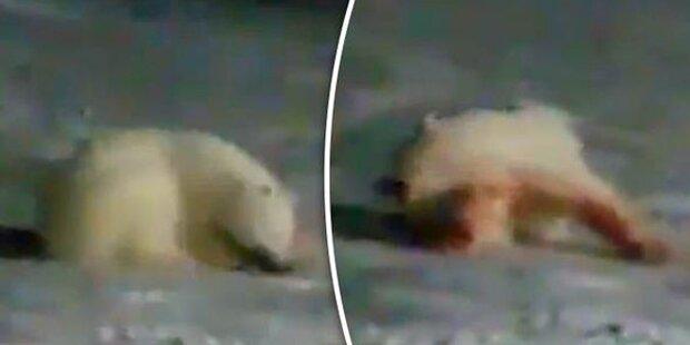 Tierquäler töten Eisbär mit Feuerwerkskörper