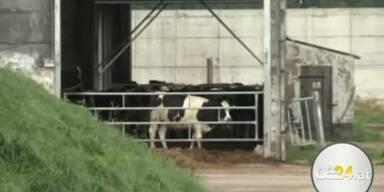 Kuh attackiert Besitzer - Bäuerin Tot