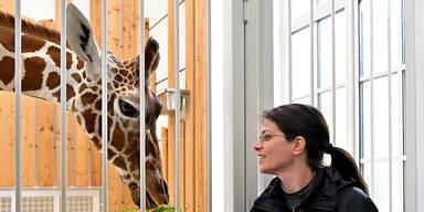 Giraffe Obi