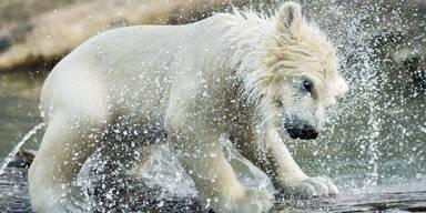 Finja Eisbär