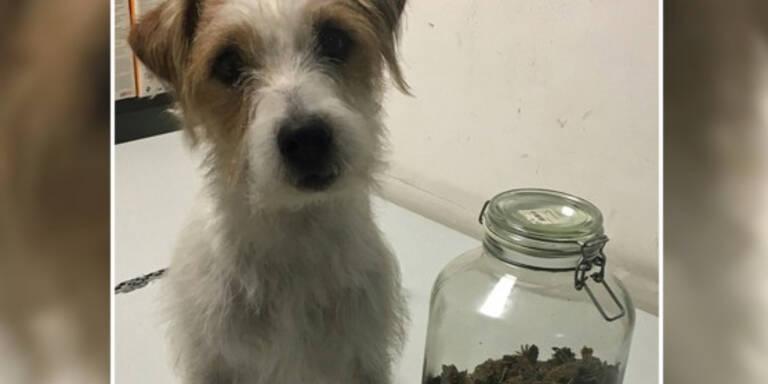 """""""Pitt vom Taffatal"""" erschnüffelte Cannabis und Kokain"""