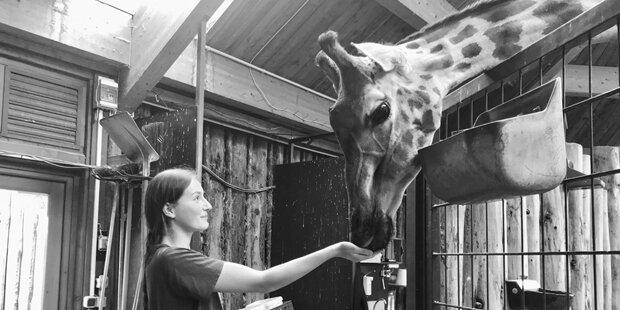 Nach Totgeburt auch Giraffenmutter im Magdeburger Zoo gestorben