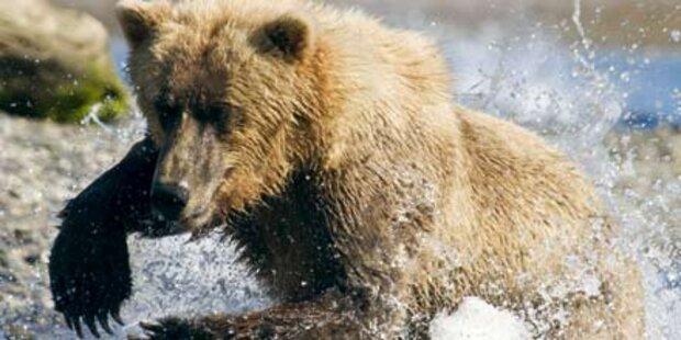 Keine Bräute für Kärntens Single-Bären