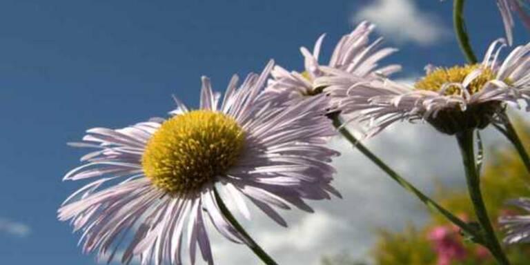 Gänseblümchen als Seelentröster