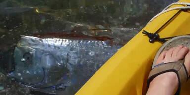 Touristen filmen seltenen Riemenfisch