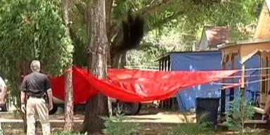 Bär stürzt nach Betäubungsschuss aus Baumkrone