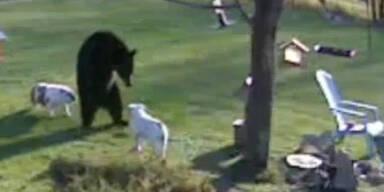 2 Bulldoggen verjagen einen Schwarzbär