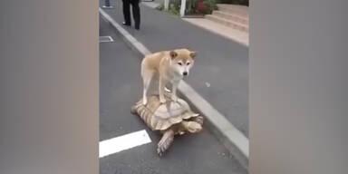 Hund reitet auf Riesen-Schildkröte