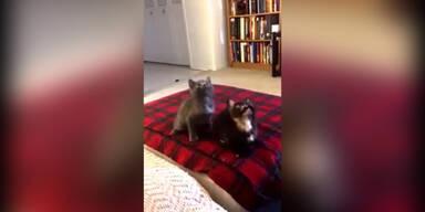 Kätzchen mit Rhythmusgefühl