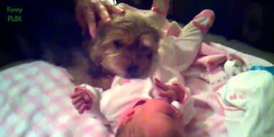 Treue Hunde beschützen Babys