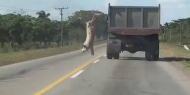Schwein springt vom fahrenden Laster