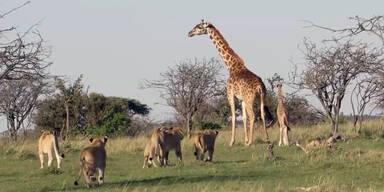 Giraffen-Mutter verteidigt Baby