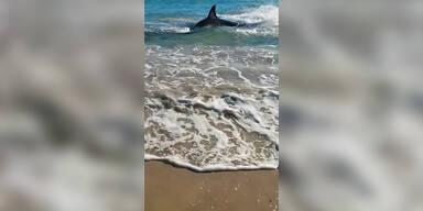 Weißer Hai tanzt auf dem Strand