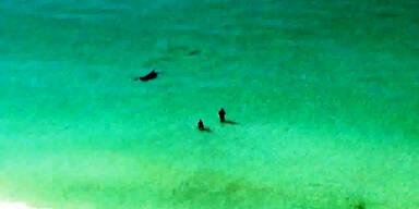 Hammerhai schwimmt in Strandnähe