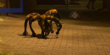 Der Spinnen-Hund geht um