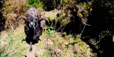Schafsbock zerstört nervige Drohne
