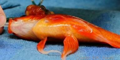Goldfisch gesund nach Operation