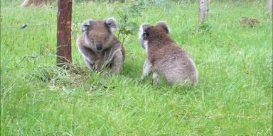 Kampf der Koalagiganten