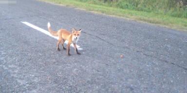 Scheuer Fuchs frisst auf Straße