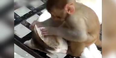 Affe nervt schlafende Katze