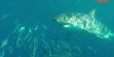 Weißer Hai attackiert weißen Hai
