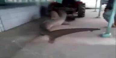 Lebender Hai durch Straßen geschleift