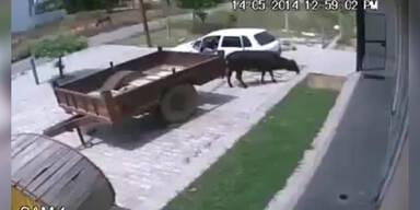 Kuh wird ins Auto gepackt