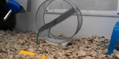 Dieser Hamster ist einfallsreich