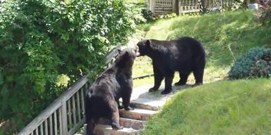 Zwei Bären kämpfen in New Jersey
