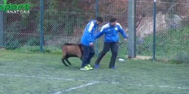 Ziegenbock greift in Fußballspiel ein