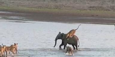 Elefant überlebt Angriff