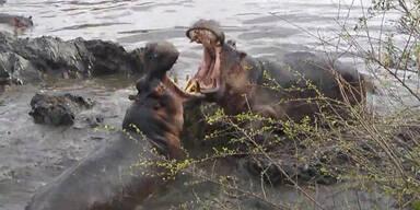 Gefährlicher Nilpferd-Kampf