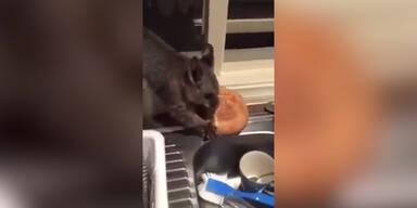 Freches Opossum stiehlt Essen