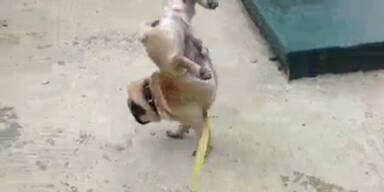 Hund nützt nur zwei Beine