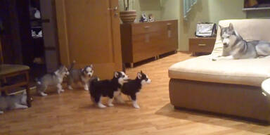 Husky-Mutter spielt mit ihren Welpen