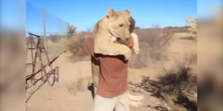 Eine verspielte Löwin zum Freund