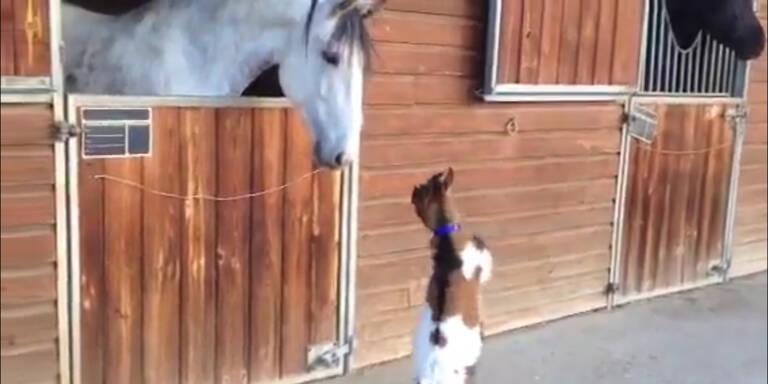 Baby-Ziege gibt Pferd Kopfstöße