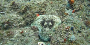 Gut getarnter Octopus