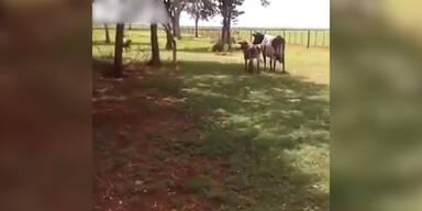 Schaf kämpft gegen Bullen