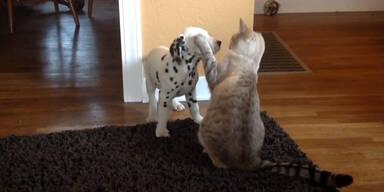 Dalmatiner freundet sich mit Katze an