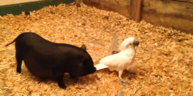Papagei vergnügt sich mit Schweinen