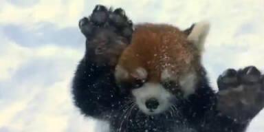 Wilde Schnee Spielerei roter Pandas