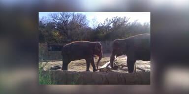 Holz zu stark für Elefanten