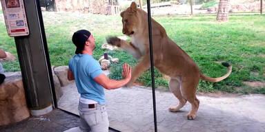 Mann will ein Löwe sein