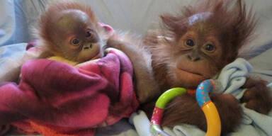 Süße Orang-Utan-Babys
